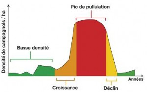 phases_du_cycle_pullul